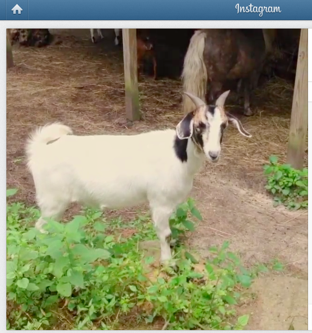 Beatrix the Goat