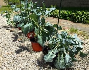Broccoli plants outside